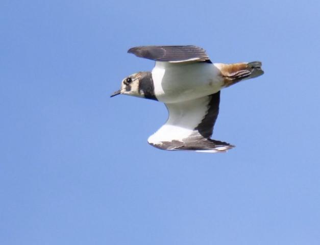 Lapwing by Rob Porter-Oct 26th, Fishtail Lagoon, Pennington