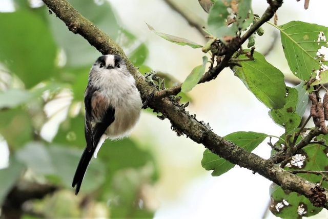 Long-tailed Tit by Brian Cartwright - Oct 8th, Anton Lakes