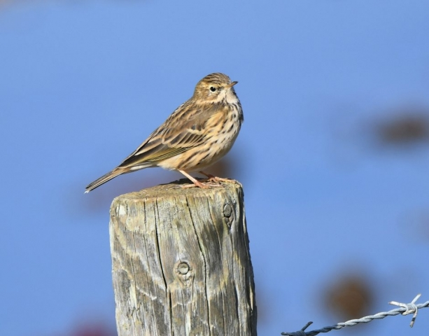 Meadow Pipit by Dave Levy - Oct 11th, Keyhaven