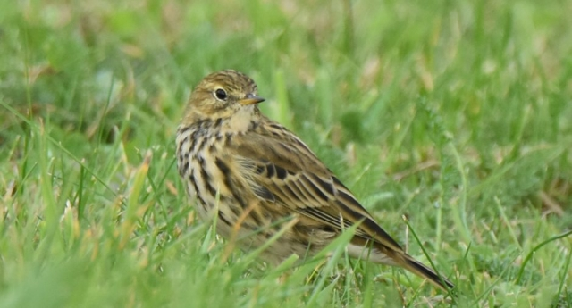 Meadow Pipit by Peter Hyde - Oct 5th, Hamble