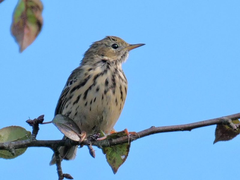 Meadow Pipit by Rob Porter-Oct 9th, Leaden Hall, N.F