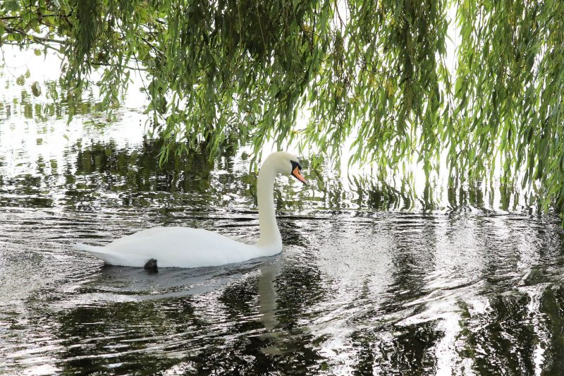 Mute Swan by Brian Cartwright - Oct 8th, Anton Lakes