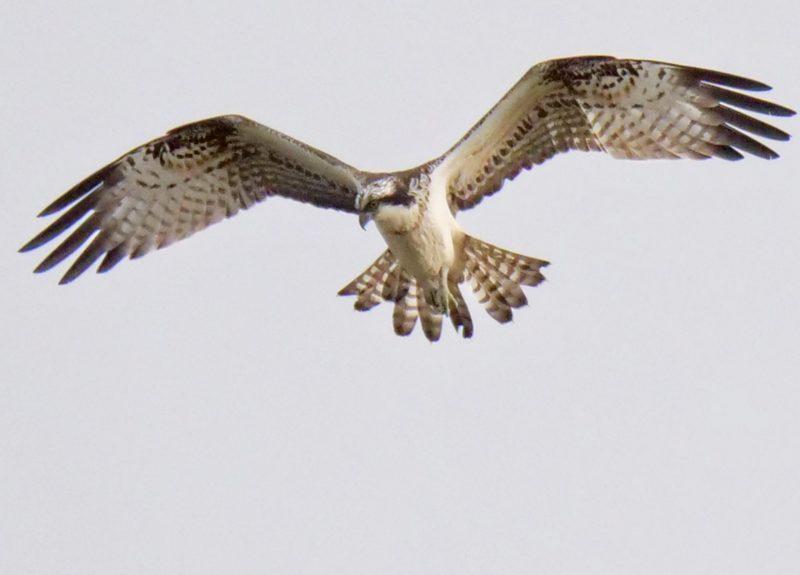 Osprey by Rob Porter-Oct 22nd, Normandy Marsh, Pennington