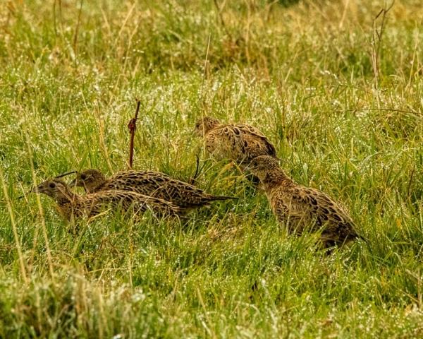 Pheasant by Mike Duffy - Sep 29th, Farlington Marshes