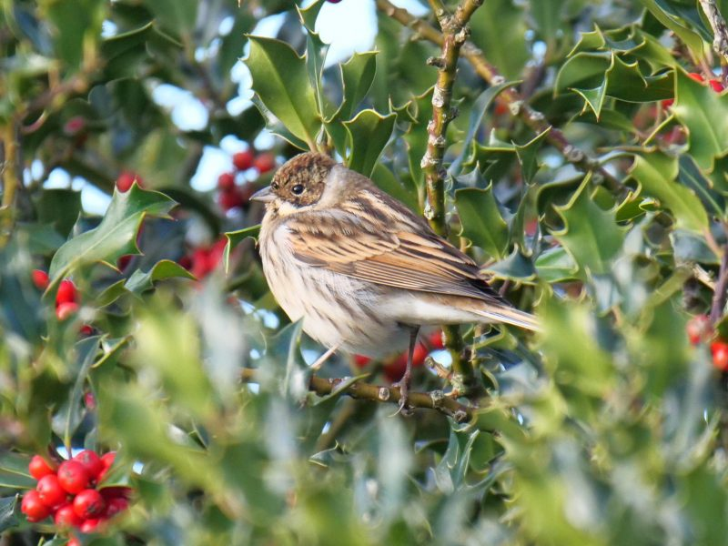 Reed Bunting by Rob Porter-Oct 16th, Leaden Hall, N.F