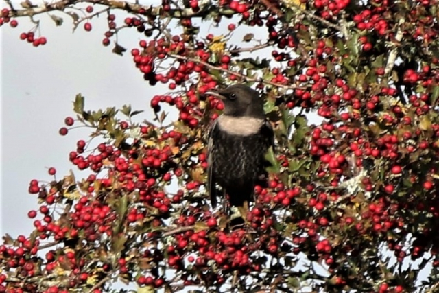 Ring Ouzel by Andy Tew - Oct 16th, Leadenhall, NF