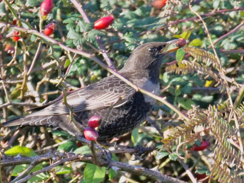 Ring Ouzel by Rob Porter-Oct 16th, Leaden Hall, N.F