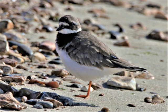 Ringed Plover by Andy Tew - Oct 1st, Titchfield Haven
