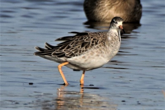 Ruff by Andy Tew - Oct 19th, Pennington Marshes