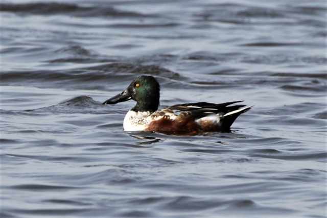 Shoveler by Andy Tew - Oct 19th, Pennington Marshes