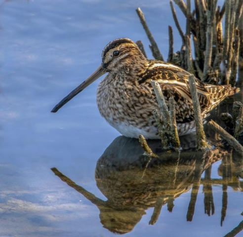 Snipe by Steve Payce - Sep 28th, Titchfield Haven