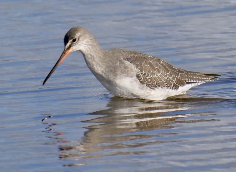 Spotted Redshank by Rob Porter-Oct 22nd, Normandy Marsh