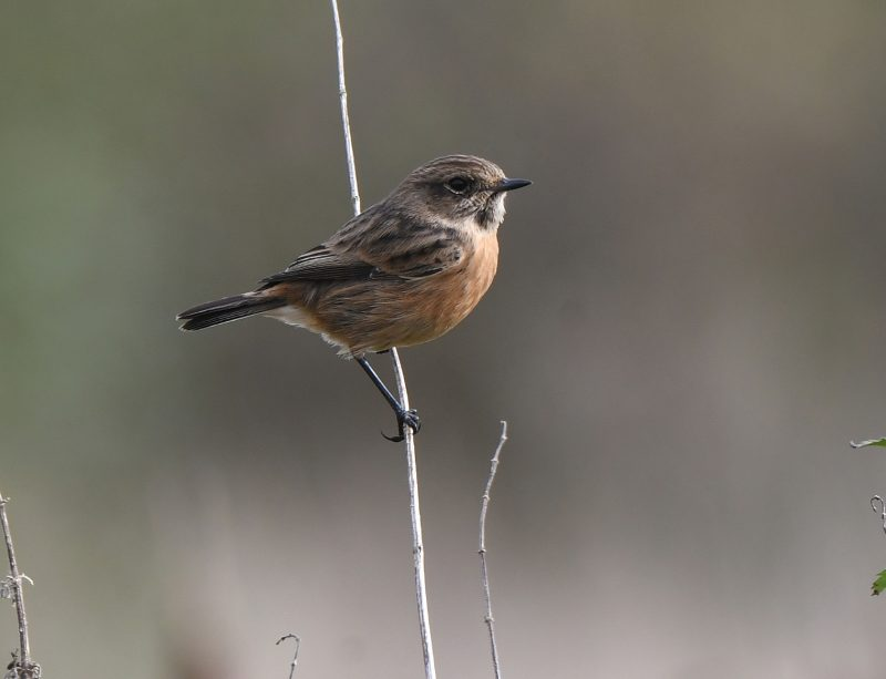 Stonechat by Dave Levy - Oct 28th, Edenbrook CP