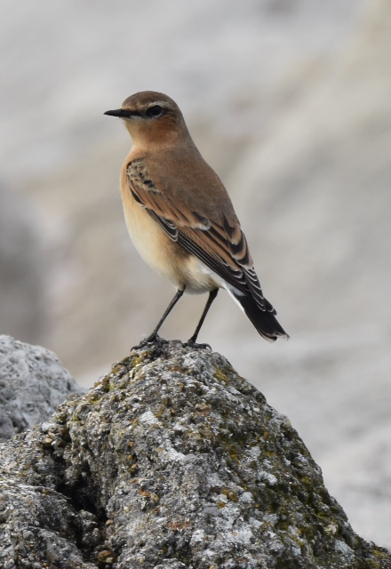 Wheatear by Peter Hyde - Oct 5th, Hamble
