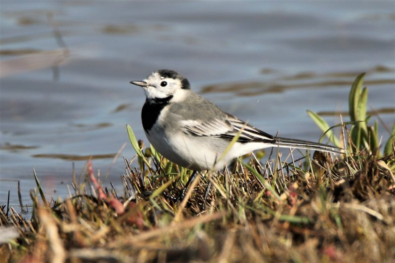 White Wagtail by Andy Tew - Oct 10th, Pennington Marshes