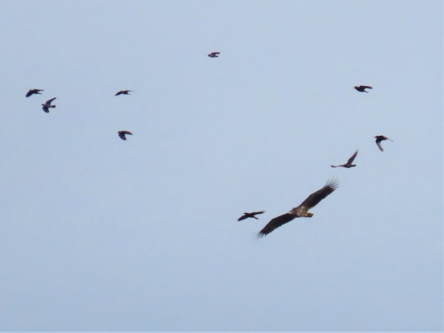 White-tailed Eagle by Keith Betton - Oct 6th, Froyle