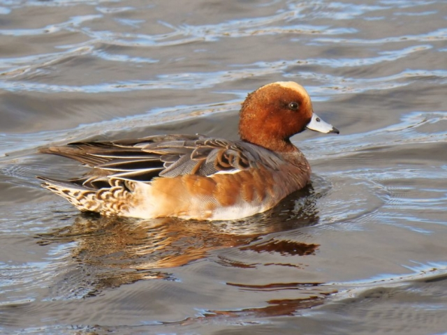 Wigeon by Rob Porter-Oct 22nd, Oxey Creek, Pennington