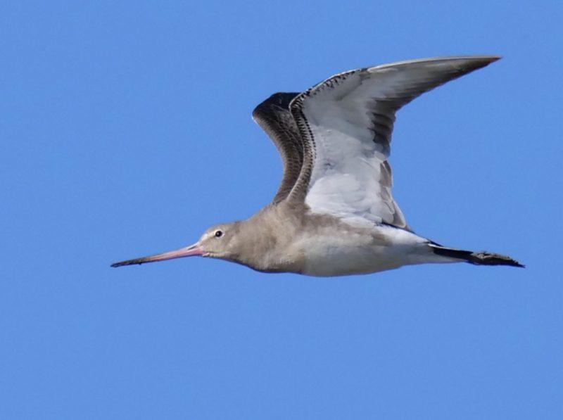 Black-Tailed-Godwit by Rob Porter-Nov 4th, Normandy Marsh, Pennington