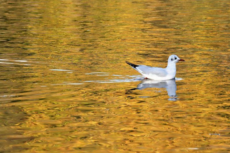 Black-headed Gull by Brian Cartwright - Nov 5th, Anton Lakes