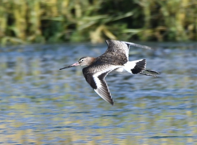Black-tailed Godwit by Dave Levy - Nov 4th, Warsash
