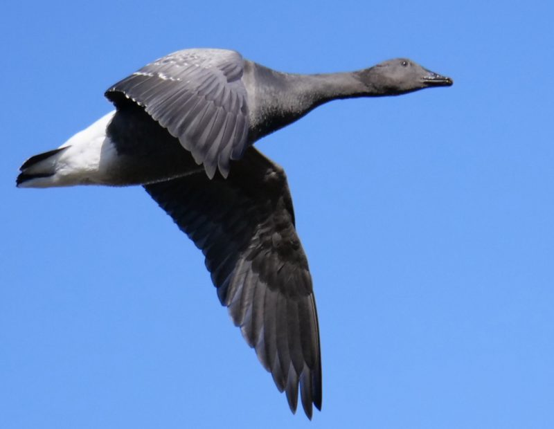 Brent Goose by Rob Porter-Nov 4th, Normandy Marsh, Pennington