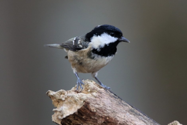 Coal Tit by Andy Tew - Nov 16th, Denny Wood