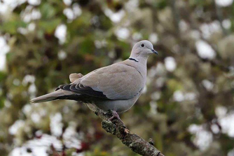Collared Dove by Brian Cartwright - Oct 28th, Anton Lakes