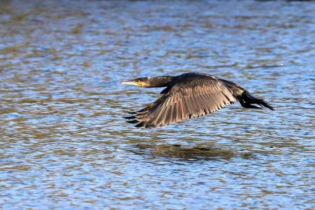 Cormorant by Brian Cartwright - Nov 3rd, Anton Lakes