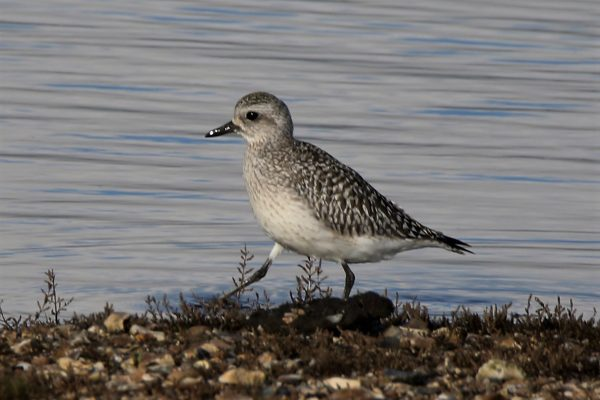 Grey Plover by Andy Tew - Nov 10th, Pennington