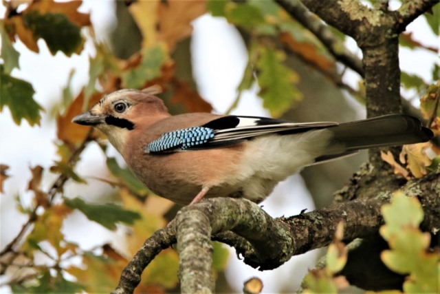 Jay by Andy Tew - Nov 2nd, Titchfield Haven
