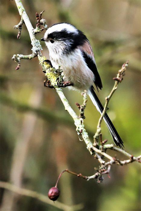 Long-tailed Tit by Brian Cartwright - Nov 13th, Anton Lakes