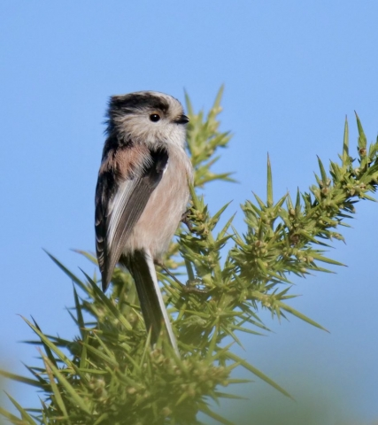 Long-tailed Tit by Rob Porter-Nov 12th, Janesmoor Pond, N.F
