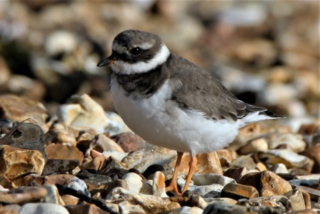 Ringed Plover by Andy Tew - Nov 2nd, Titchfield Haven
