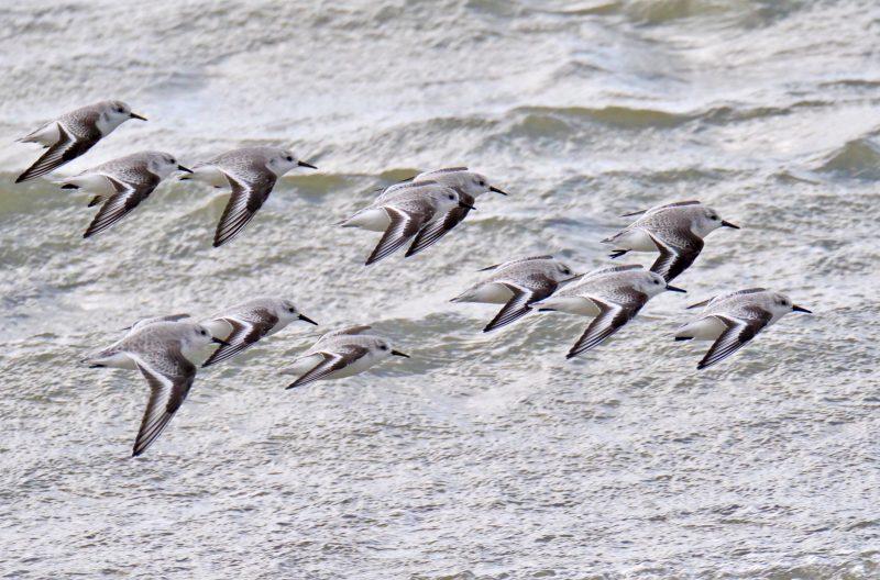 Sanderling by Rob Porter- Nov 19th, Hillhead