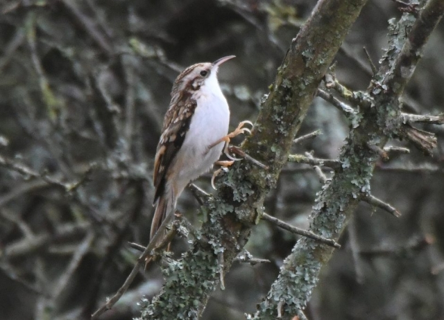 Treecreeper by Dave Levy - Nov 22nd, Burkham