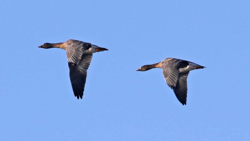 Bean Geese by Chris Rose - Dec 12th, Pennington Marshes