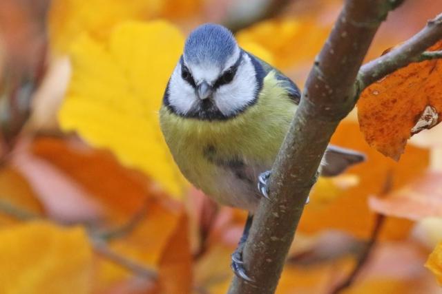Blue Tit by Chris Rose - Nov 21st, Eyeworth Pond