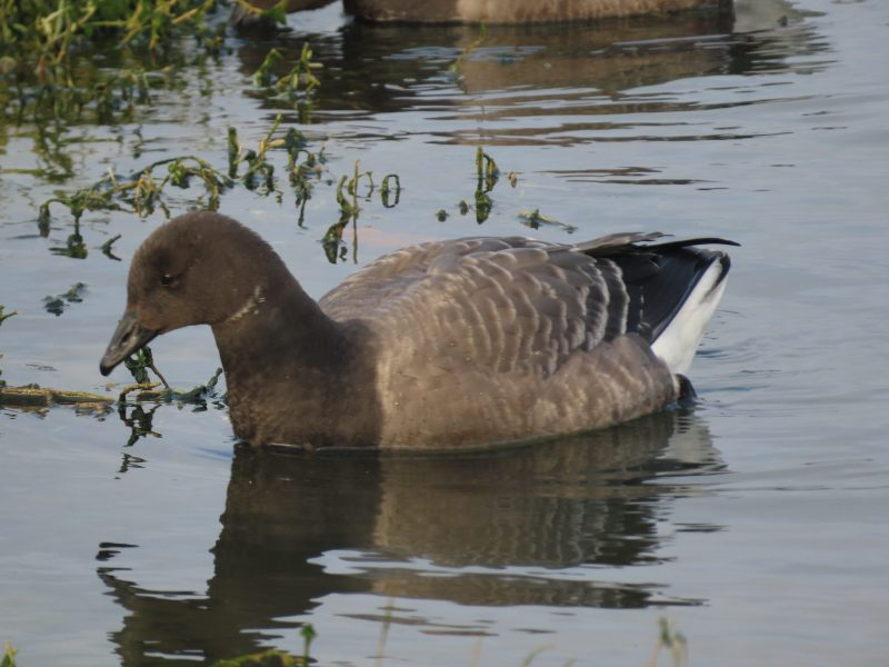 Brent Goose by Kay Shillitoe - Nov 29th, Bunny Meadows