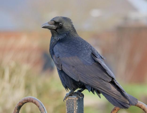 Carrion Crow by Rob Porter - Dec 1st, Southsea Castle