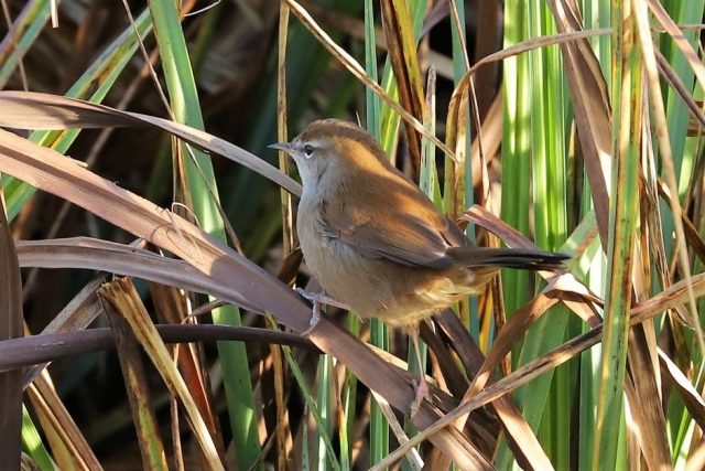 Cetti's Warbler by Brian Cartwright - Dec 1st, Anton Lakes