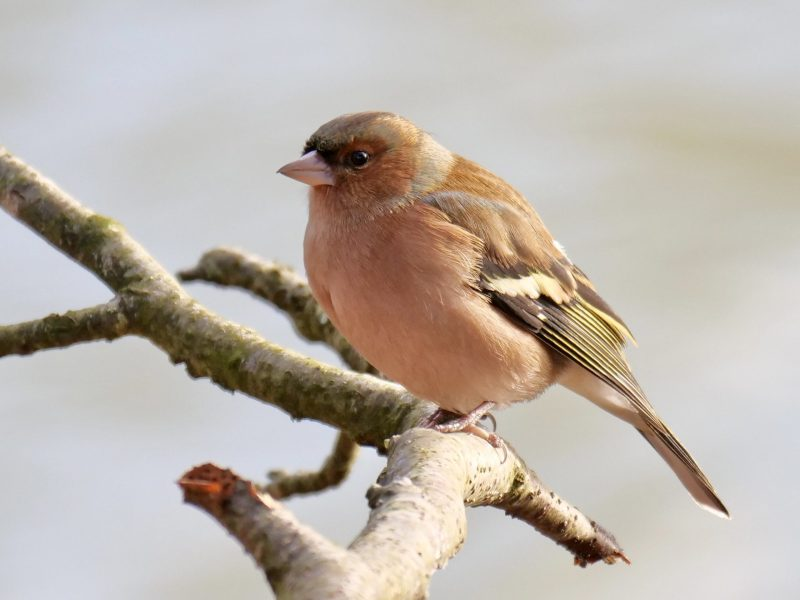 Chaffinch by Rob Porter-Dec 17th, Skidmore, Lee