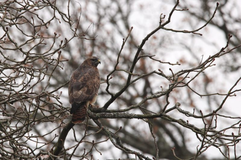 Common Buzzard by Jenny Cross - Nov 26th, Southampton Common