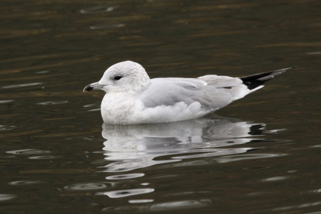 Common Gull by Jenny Cross - Nov 26th, Southampton Common