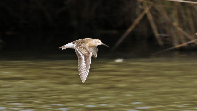 Curlew Sandpiper by Chris Rose - Sep 20th, Farlington Marshes