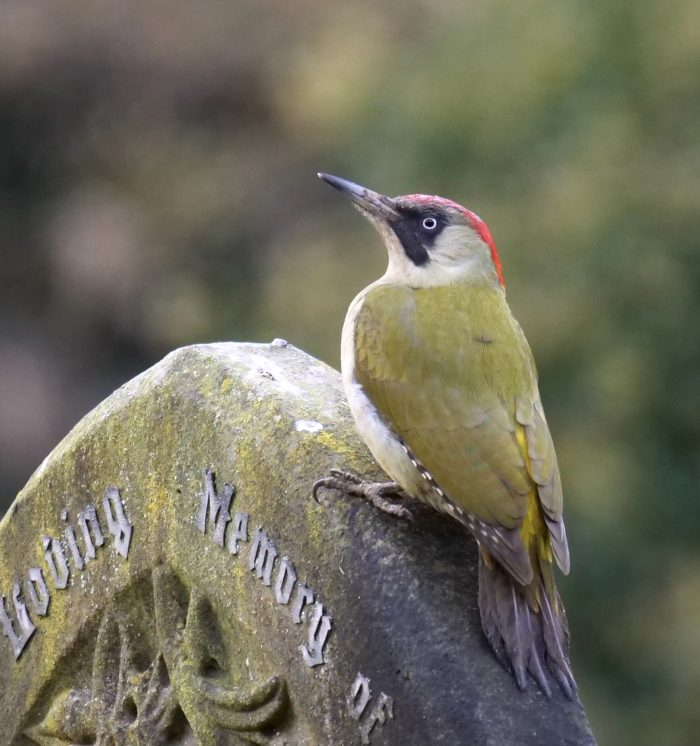 Green Woodpecker by Rob Porter-Dec 2nd, Southampton Common