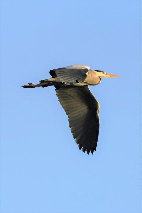 Grey Heron by Brian Cartwright - Dec 20th, Anton Lakes