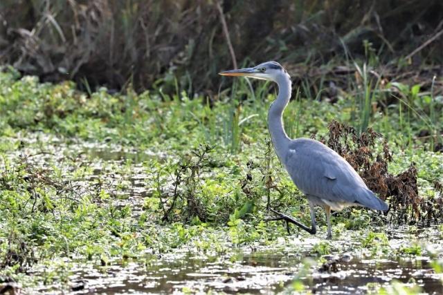 Grey Heron by Brian Cartwright - Nov 23rd, Anton Lakes