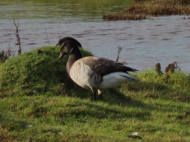 Light Bellied Brent Goose by Bob Marchant - Dec 12th, Farlington Marshes
