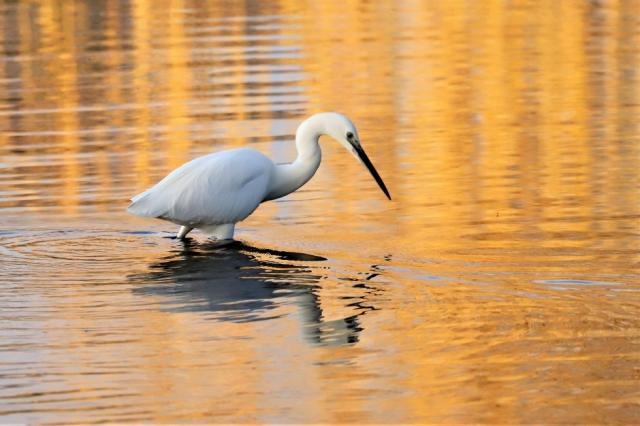Little Egret by Brian Cartwright - Dec 19th, Anton Lakes