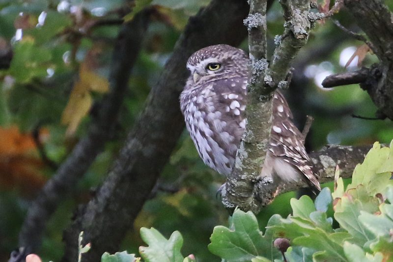 Little Owl by Chris Roase - Oct 17th, Warsash